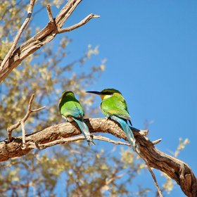 ... colourful bee eaters ...