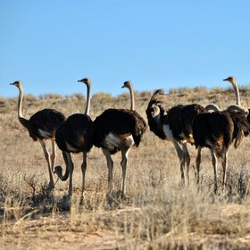 ... and ostriches.
