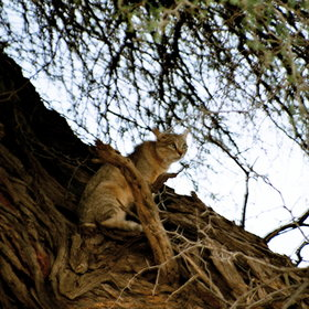 Sometimes smaller predators, such as African wild cats, can be seen.
