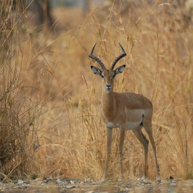 Look for impala hiding in the dry grass...