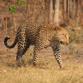 Leopard are more common here.