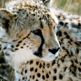 Over a quarter of the total estimated population of cheetah live in Namibia…