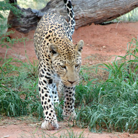 ….and leopard are exceedingly common throughout the country.