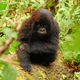 Gorilla family groups can range from a couple of individuals to more than 40 members.