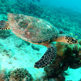 If you're lucky you may spot one of the reefs transient visitors like the Hawksbill turtle...