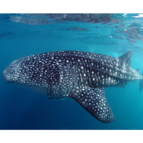 ... the oceans biggest fish, the Whale shark.