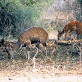 Medium and small antelope in Namibia include bushbuck, marked with white spots and stripes...