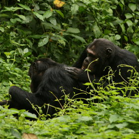 Chimpanzee Trekking in Nyungwe Forest