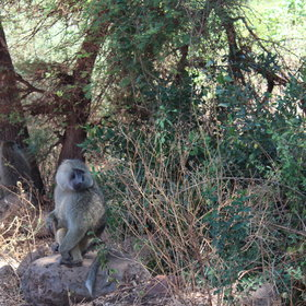 Baboons are just one of the species you might spot from the walkway.