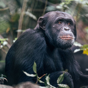 Chimpanzee habituation experience