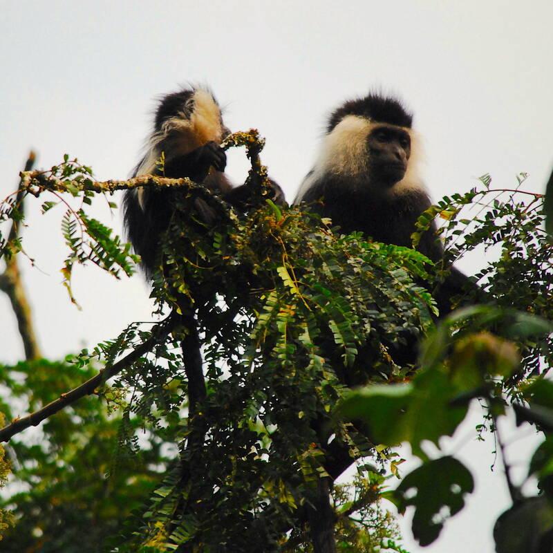 Colobus Trekking in Nyungwe