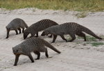 Banded Mongoose Safari