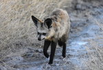 Bat-eared Fox Fly-in Safari