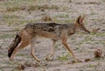 Black-backed Jackal Safari