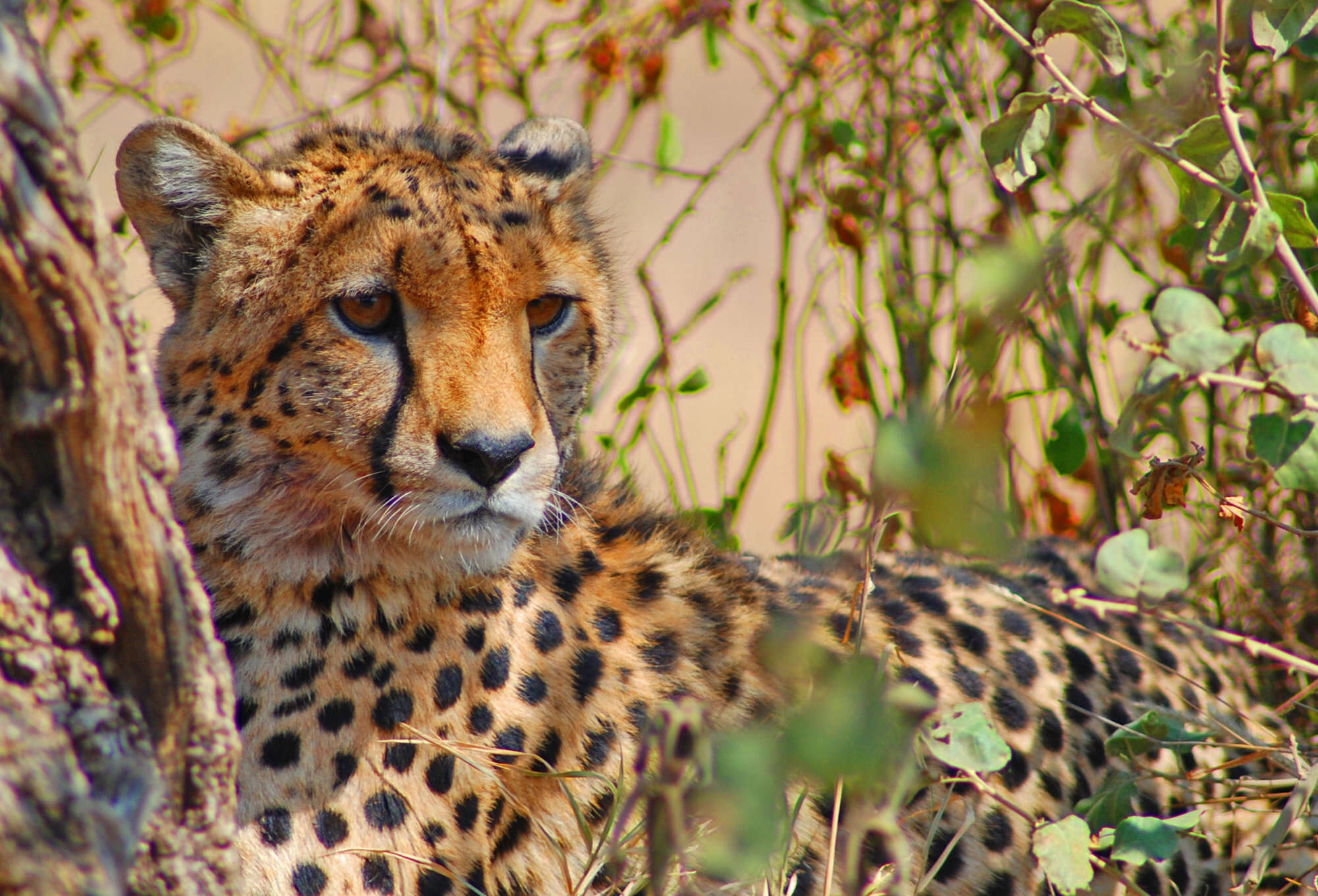 Safari in Namibia and Botswana with wildlife viewing in Etosha, Mahango and Bwabwata National Parks; boat cruises and birdwatching along the Okavango Delta Panhandle; and loop back to Windhoek through the vast Kalahari Desert.