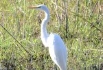 Great Egret Safari