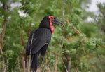 Ground Hornbill Safari