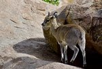 Klipspringer Safari