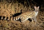 Large-spotted Genet safari