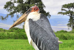 Marabou Stork Fly-in Safari