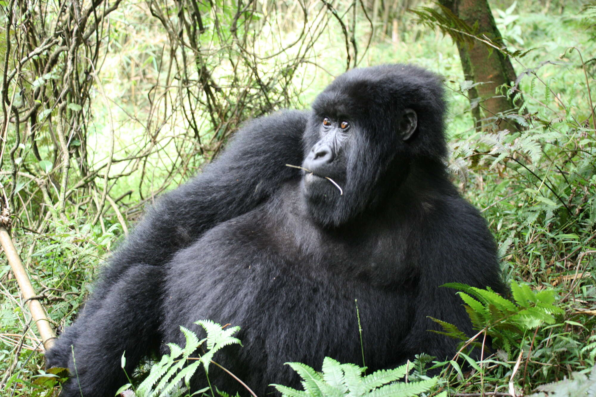Privately guided safari visiting Volcanoes National Park, Lake Kivu and Nyungwe Forest
