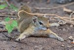 Mopane Squirrel Safari
