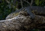 Nile Monitor Safari