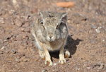 Rock Hare Self-drive Safari