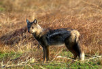 Side-striped Jackal Safari