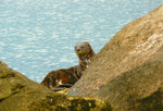 Spotted-necked Otter Safari