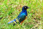 Superb Starling Fly-In Safari