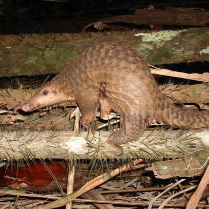 Mundulea Reserve: Pioneering pangolin research