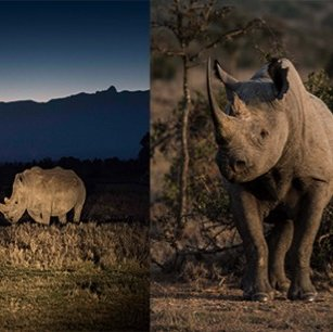 Fighting to save the last remaining white rhinos