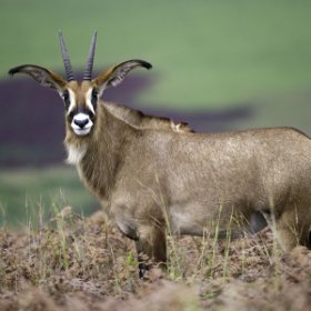... and guest will may see unusual species like the roan antelope.