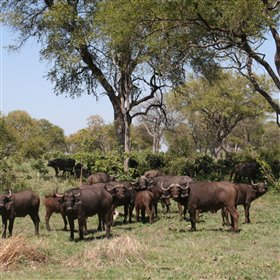 where large herds of buffalo are common in the dry season...
