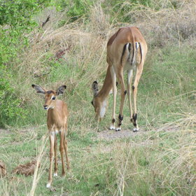 A large number of impala young are born during November, as the rainy season begins.