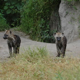 ...and even hyena cubs at a local well-known den!