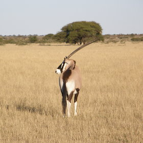 ...and you might spot these residents of the Kalahari - oryx...