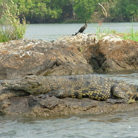 ...as for example some crocodiles...