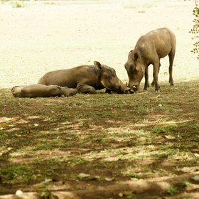 …and animals everywhere. Warthogs hang out near the lounge area when new rains provide good grazing.
