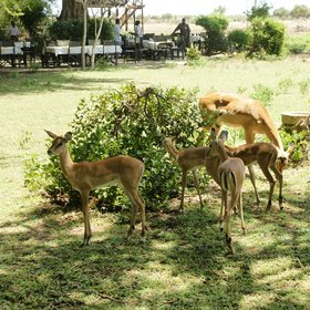 "…where impalas often gather (""for protection from the lions"" you'll be told by staff)."