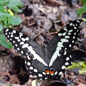 …and some beautiful, forest butterflies, such as this Papilio demodocus - a tail-less swallowtail.