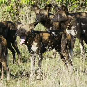 Sosian is one of a few Kenyan lodges where you have a good chance of seeing wild dogs.