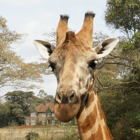 Giraffe Manor is a unique and delightful place to stay in Nairobi.