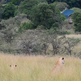 …and the camp is very much in the bush, with lions sometimes around.