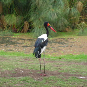 …such as this saddle-billed stork.