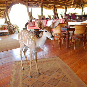 ... where you might find the odd stray visitor - like this adopted kudu.