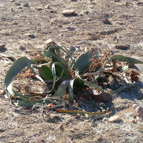 The Welwitchia is able to survive in this harsh dry environment with very little water.