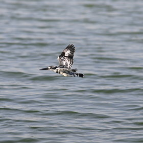 ...including flocks of Pied Kingfishers...
