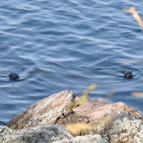 Keep an eye out for the resident otters...